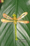 Золотая стрекоза из бисера